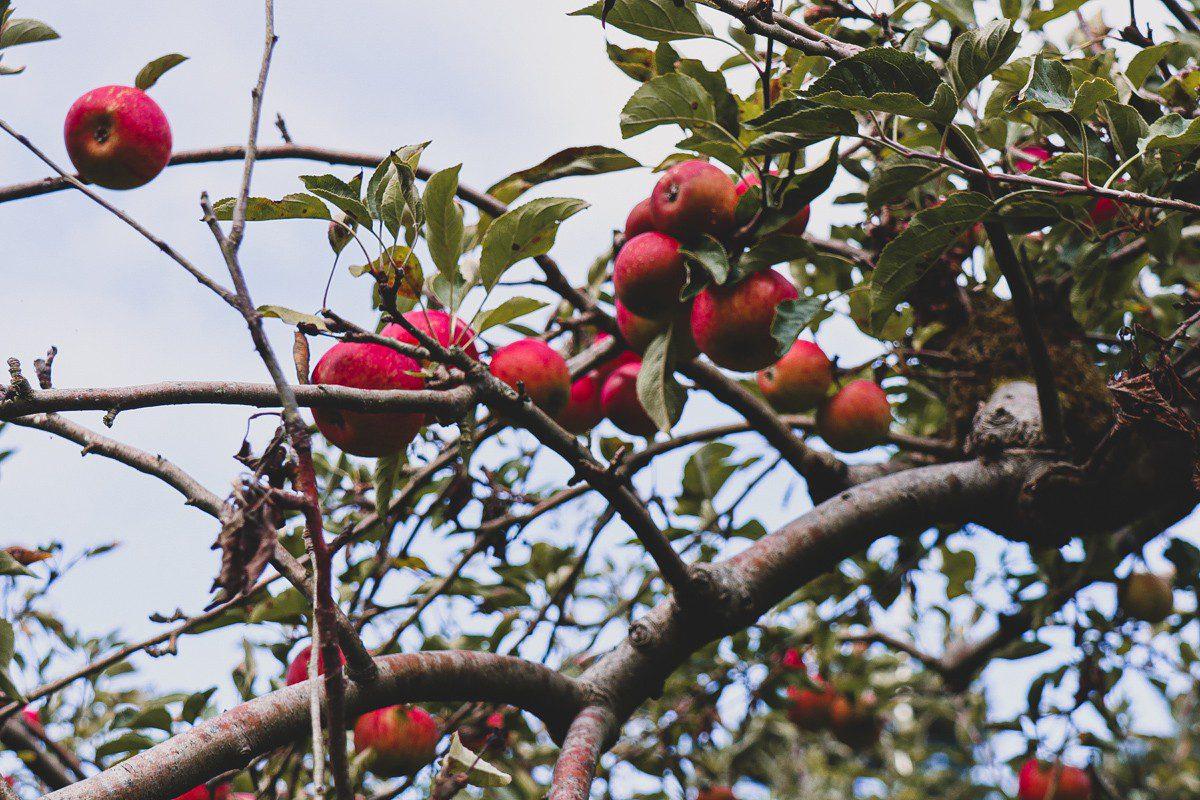 PYO farm purpurpurpur